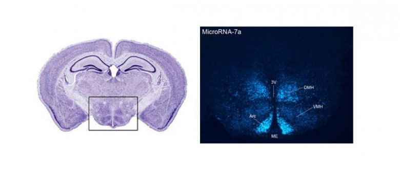hypothalamus stained with cresyl violet (left) and hypothalamus after locked nucleic acid-based in situ hybridization to detect cells expressing microRNA-7a (miR-7a).