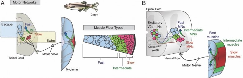 Neuromuscular organization in the adult zebrafish.