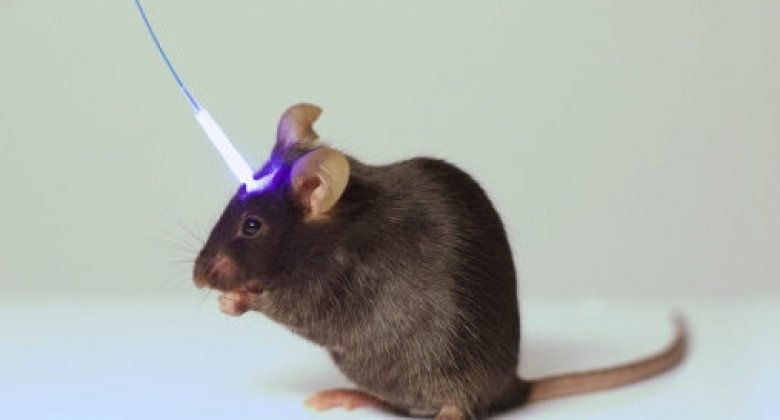 image of a mouse with optical fibre to the head