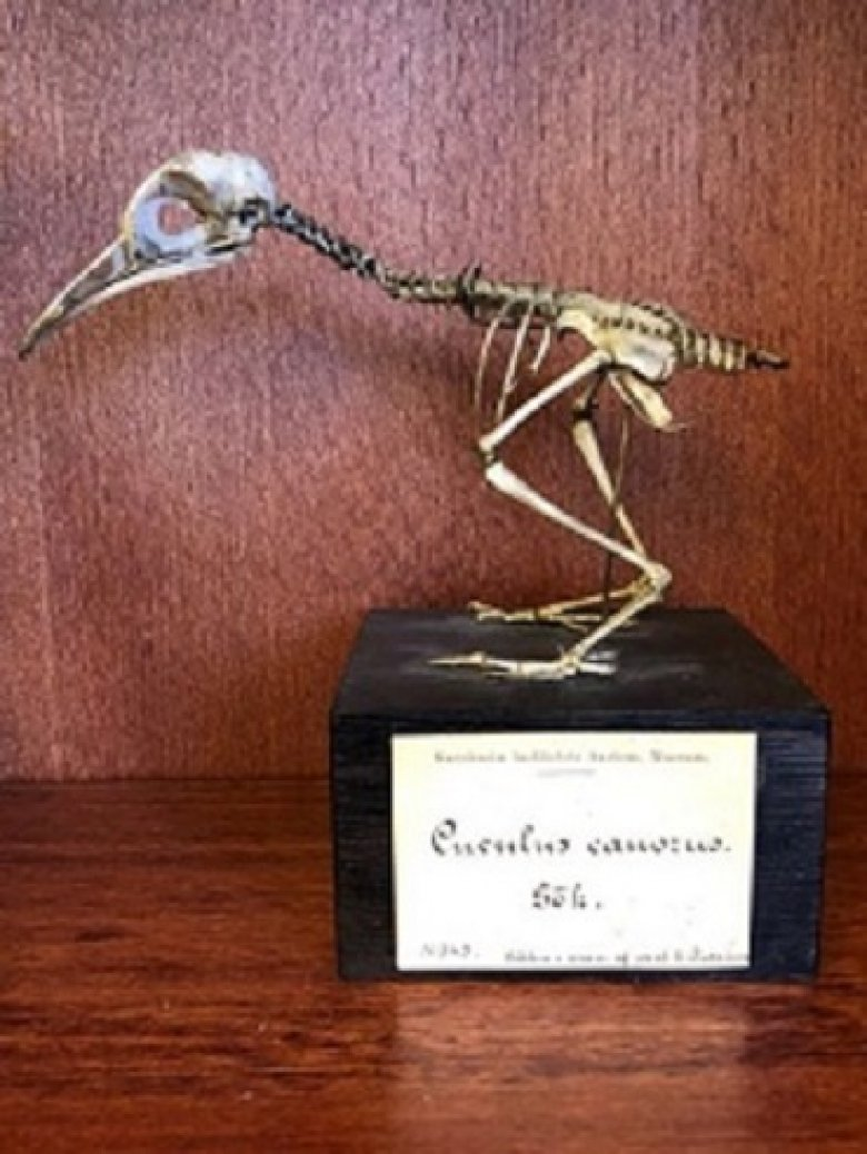 Cuckoo skeleton that used to belong to Anders Retzius.