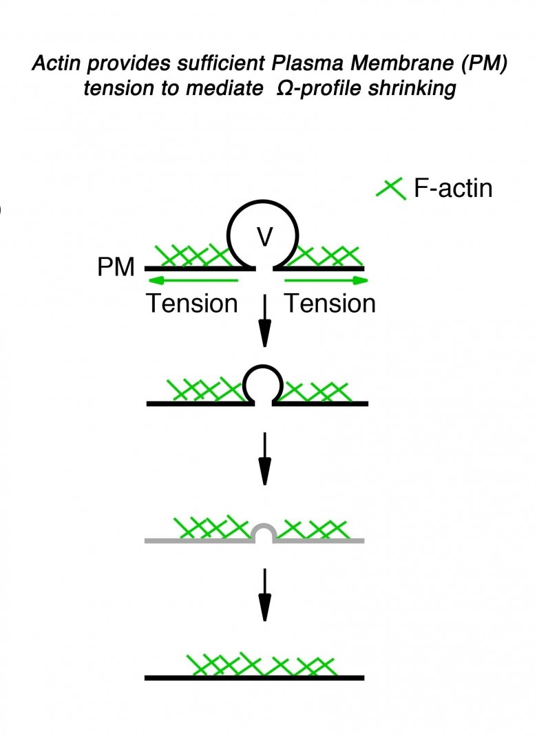 Actin provides sufficient Plasma Membrane (PM) tension to mediate Omega-profile shrinking