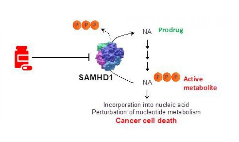 Targeting SAMHD1 to enhance current cancer therapies