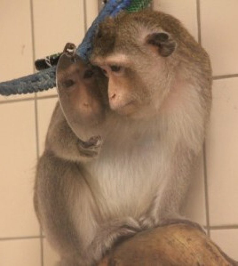 Macaques in their home environment at the Astrid Fagræus laboratory.