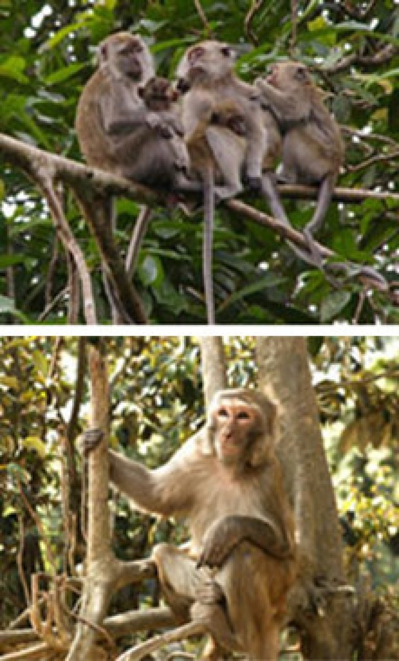 Two different types of macaque.